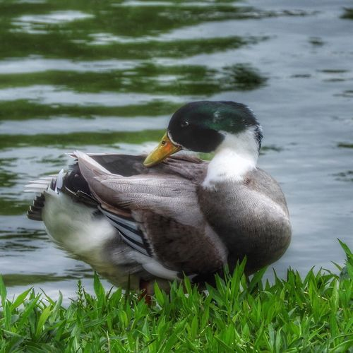 I found another Duck, chased him around a bit and finally stood still & I got my picture, lol another battle won Things I Like My View Duck Birdsofinstagram Waterbirds Feathers Quack Quack Duck Pond Bird Photography Birds_collection Birds Of EyeEm  Birdfreaks Bird