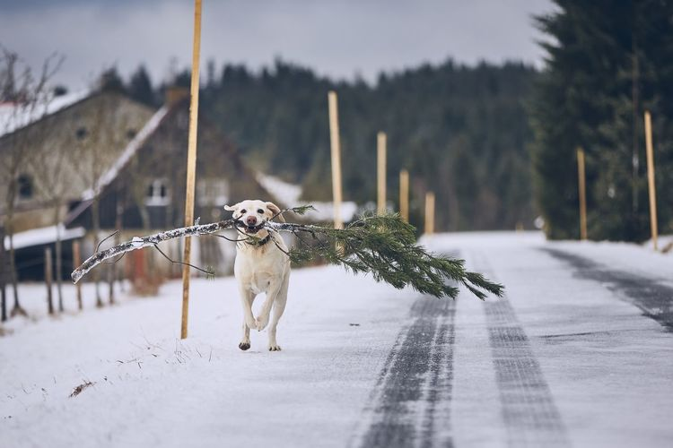 Dog carrying branch while running on snow covered road