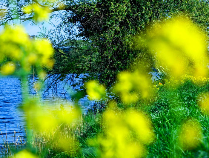 Close-up of yellow flowering plant by lake