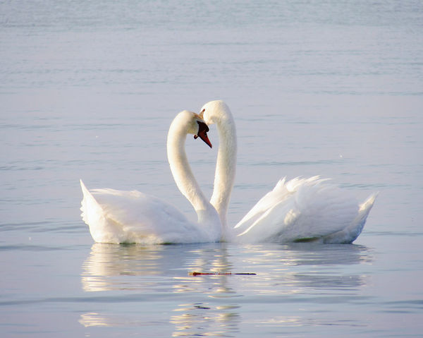 Aquatic Beauty In Nature Calmness Close-up Double Floating On Water Lake Nature No People Outdoors Swan Water