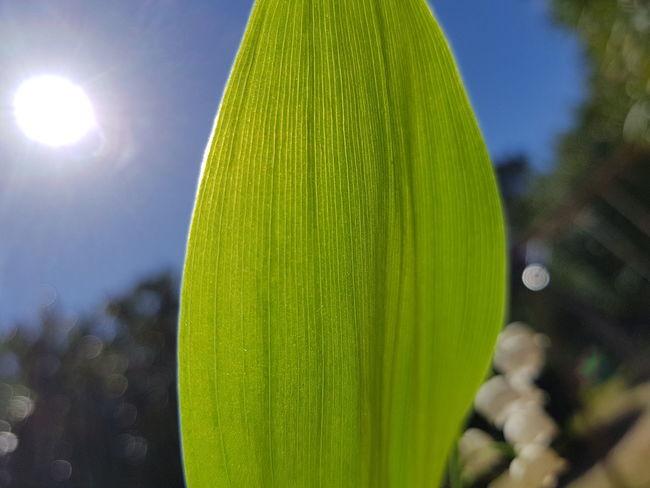muguet Summer Close-up Sky Grass Plant Green Color