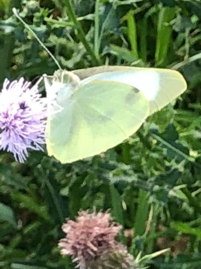 White butterfly 🦋 Eye😍 Butterfly💓 Plant Flower Flowering Plant Beauty In Nature Growth Vulnerability  Fragility Close-up Nature Freshness Flower Head Petal Inflorescence Invertebrate One Animal Animal Themes Leaf Insect No People Animal