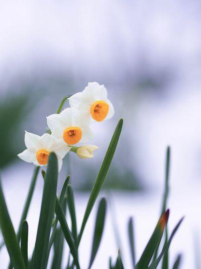 今日もとても寒い朝です🤧 Olympus OM-D E-M5 Mk.II Narcissus Winter Snowcovered Snow Flower Petal Growth Fragility Freshness Flower Head Focus On Foreground Close-up Plant Day