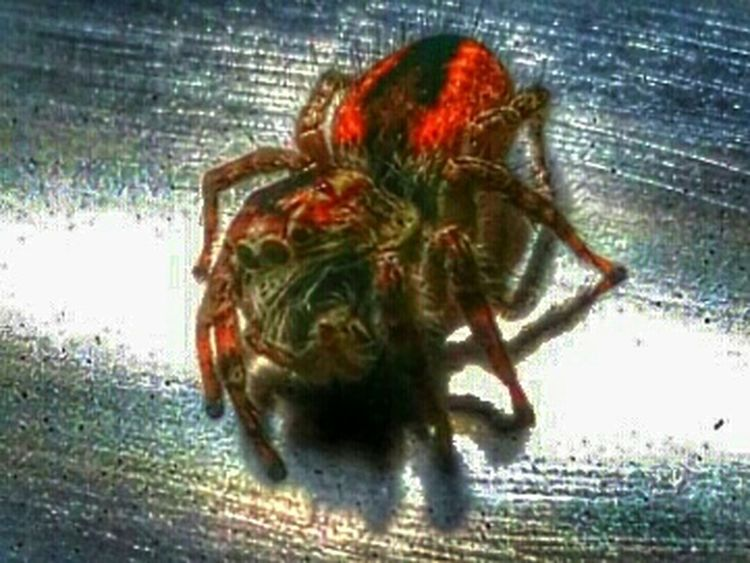 Bugs Kusadasi Spider