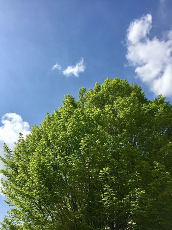 Tree Sky Low Angle View Growth Nature Tranquility Cloud - Sky Green Color Beauty In Nature Blue Outdoors Sun Light Day Scenics No People Forest Treetop Sky Clouds And Sky Clouds Fly Flying Fly Sky Fly Fly To The Sky