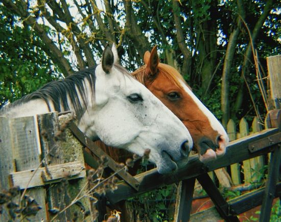 Animal Themes Horse Side View Herbivorous Outdoors Mammal Two Horses Allotment Livestock Close-up Ranch
