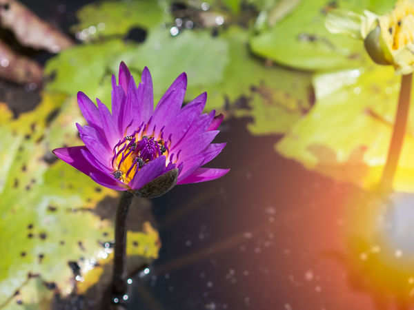 Beautiful purple petal lotus flower or waterlily with tiny bees around the yellow pollen emerging from the water surface with green lotus leaves, sunset background Lotus Flower Animal Themes Beauty In Nature Close-up Day Flower Flower Head Fragility Freshness Growth Nature No People Outdoors Petal Plant Purple Sunlight Water Water Lily