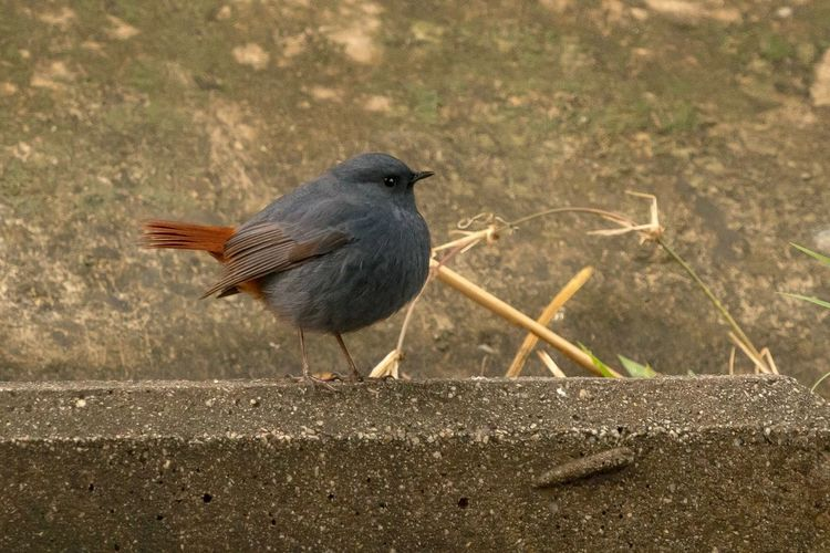 Sigma 150-600c Sony A7RII Hong Kong Plumbeous Water Redstart Bird Animals In The Wild One Animal Animal Themes Animal Wildlife No People Perching Day Nature Outdoors Robin Songbird  Close-up