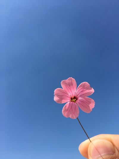 Cropped hand of person holding pink flower against clear sky