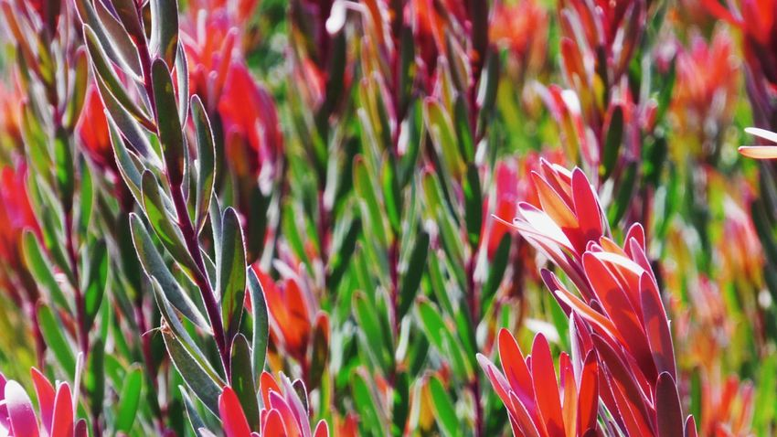 Growth Nature Plant Beauty In Nature Red Outdoors Freshness Flower Head Close-up Fragility Nature Nature Backgrounds Macro_collection Macro Plants No People