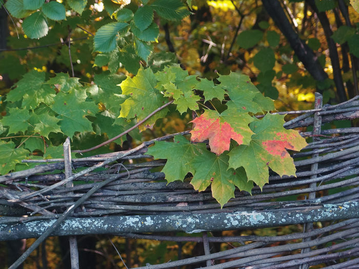 Brush fence Colors Colors Of Autumn Green Lichen Light Red Sunlight Trees Autumn Branch Day Fence Forest Leaves Nature No People Outdoors Plant Sunlight And Shadow Yellow
