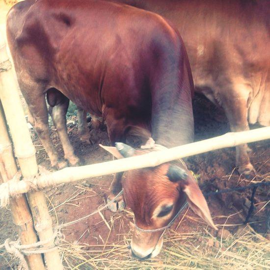 Gandaria Dhaka Cow Eidmubarak2015
