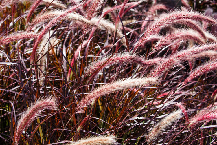 Pennisetum setaceum Rubrum Dark Grass Red Backgrounds Close-up Day Feather  Fountain Grass Fragility Full Frame Nature No People Outdoors Pennisetum Plant Summer