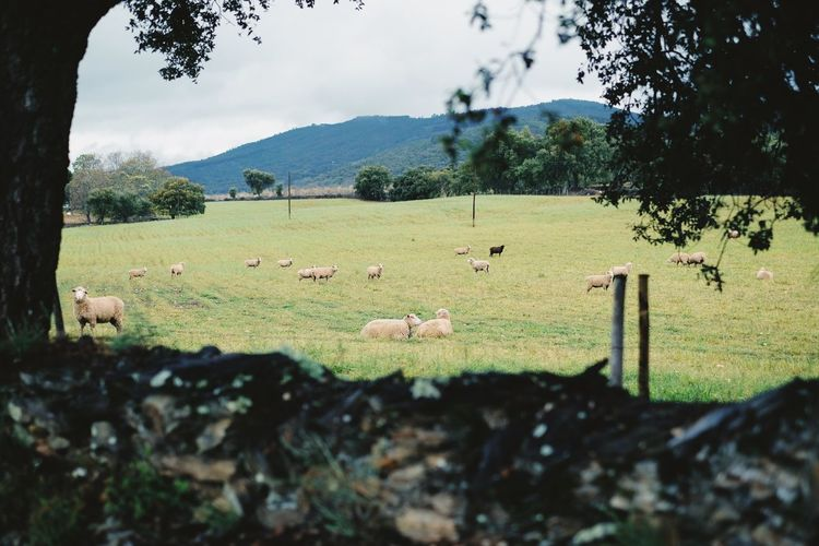 View of sheep grazing on field