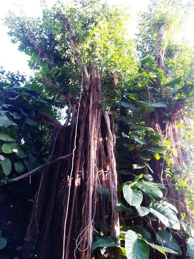 Tree Scenics Beauty In Nature Banyan Tree Banyan Tree Roots