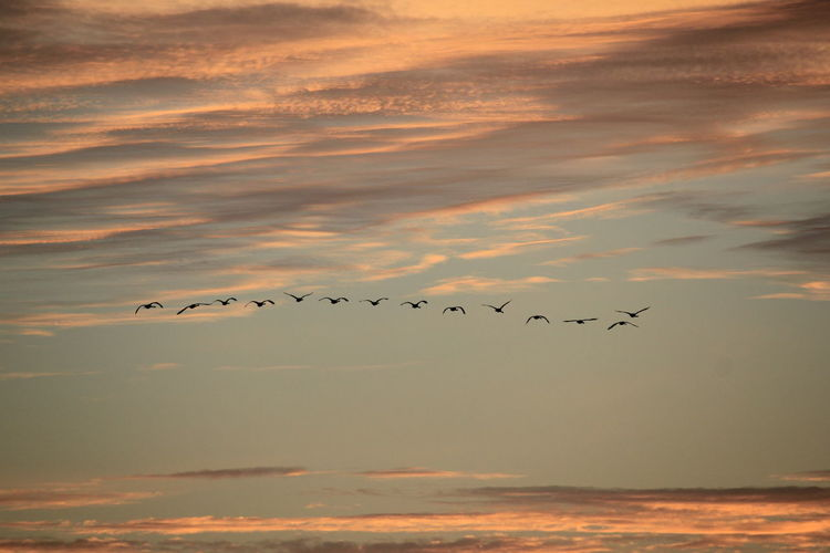 Flock of swans  flying over sea against sky