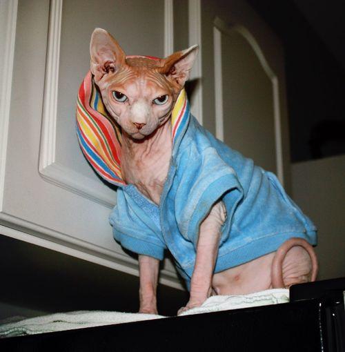 Portrait Of Sphynx Cat