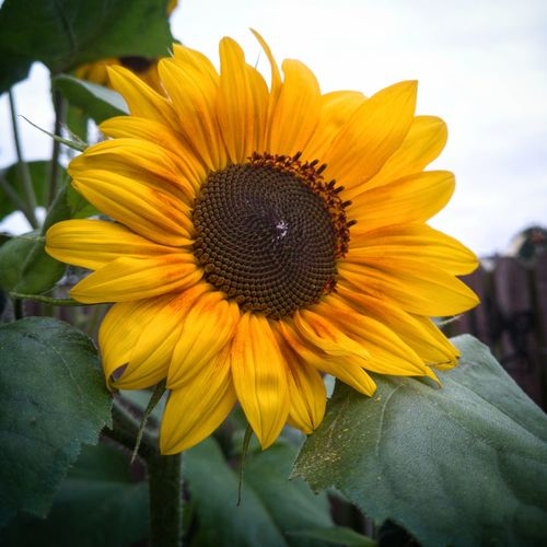 Awake arise & bloom even if there are ☁️ above, look for the 🌞 in your life. Sunflower🌻 Sunflower Flower Petal Fragility Flower Head FreshnessSunflower 🌻 EyeEm Nature Lover EyeEmNewHere Tall Sunflowers Sunflowerlovers Sunflowers🌻 Beauty In Nature Yellow Outdoors No People Nature Huawei P10 Plus Close-up Growth Day Morning Sunflowers ♥ Sunflower, Blossoms, Flower, Bloom The Week On EyeEm Paint The Town Yellow