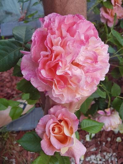 Flower Head Flower Peony  Leaf Pink Color Petal Rose - Flower Close-up Plant