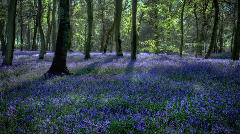 Spring carpet of bluebells in woodlands Nature Sunlight WoodLand Beauty In Nature Blue Bluebells Carpet Crocus Day Flower Flower Head Forest Fragility Freshness Growth Landscape Nature No People Outdoors Plant Purple Scenics Spring Springtime Tranquil Scene Tranquility Tree Tree Trunk Wild Woods
