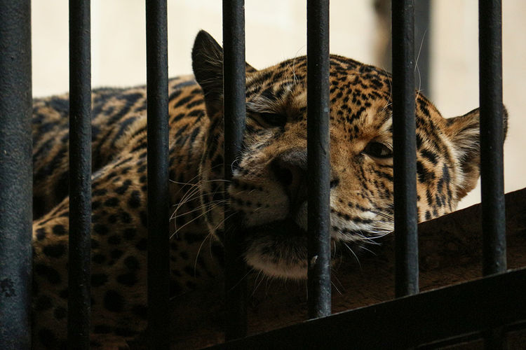 Leopard Resting Behind Bars Of Cage