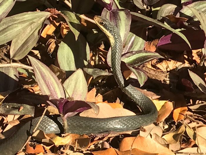 Sunning In The Ground Cover what kind of Florida Snake ? In Our Backyard by the time I got back with my camera it was gone Reptile Scales Shining In The Sun