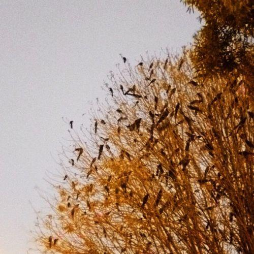 El árbol de los chanates. Tree Birds árbol Pajaros Chanates Zanates Xanates
