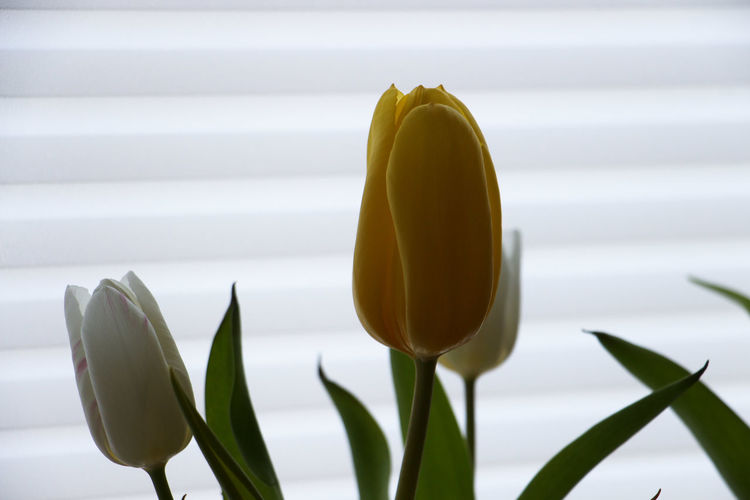 Plant Growth Freshness Close-up Flower Plant Part Flowering Plant No People Yellow Beauty In Nature Leaf Vulnerability  Fragility Nature Flower Head Inflorescence Green Color Indoors  Petal Tulip Houseplant