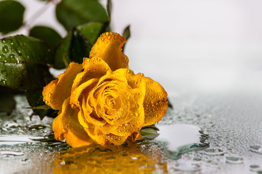 Yellow rose with waterdrops EyeEm Nature Lover EyeEm Gallery EyeEmNewHere Love Beauty In Nature Close-up Day Flower Flower Head Fragility Freshness Indoors  Nature No People One Rose One Rose With Water Petal Rosé Water Yellow Yellow Rose Yellow Rose With Waterdrops