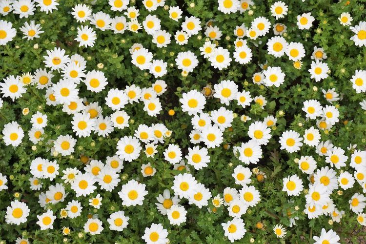 Top view of yellow and white daisies blooming in the field in summer. Chamomile. Flower Plant Yellow Growth Petal Nature Day High Angle View Backgrounds Outdoors Springtime Land Field Flower Head Flowering Plant White Garden Daisy Chamomile Blooming Flora Floral Blossom Botanical Botany