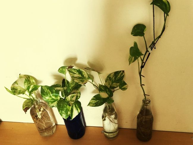 Leaf Indoors  Plant Potted Plant Vase No People Table Freshness Growth Close-up