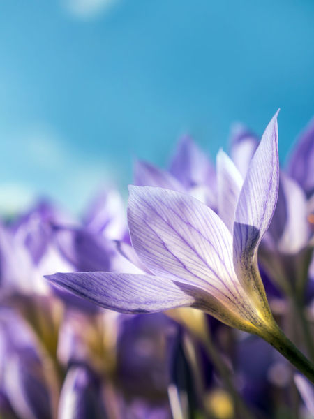 Colchicum autumnale, commonly known as autumn crocus, meadow saffron Autumn Crocus Beauty In Nature Blooming Blue Close-up Colchicum Autumnale Day Flower Flower Head Focus On Foreground Fragility Freshness Growth Macro Meadow Saffron Nature No People Outdoors Petal Plant Sky