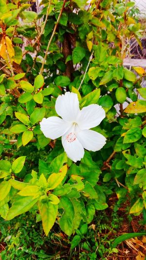 Flower white hibiscus Flower White Color Growth Nature Petal Flower Head Fragility Day Leaf Beauty In Nature Green Color Outdoors No People Plant Close-up Freshness Blooming Periwinkle hibiscus