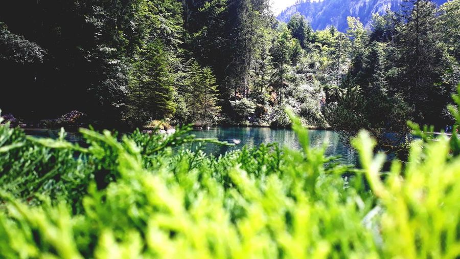 Svizzerland Blau See Tree Close-up Grass Green Color Plant Green Photosynthesis Grassland Water Drop Lush - Description Woods Farmland Growing Relaxed Moments
