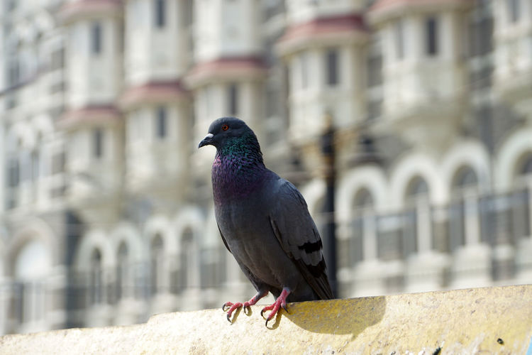 Bird Animal Themes Animal Vertebrate Animal Wildlife Architecture Animals In The Wild Built Structure One Animal Building Exterior Day Focus On Foreground Perching Pigeon Building Wall Retaining Wall No People City Nature Outdoors Pegion Pegion Bird A Pigeon Before Hotel Taj Gray-pigeon