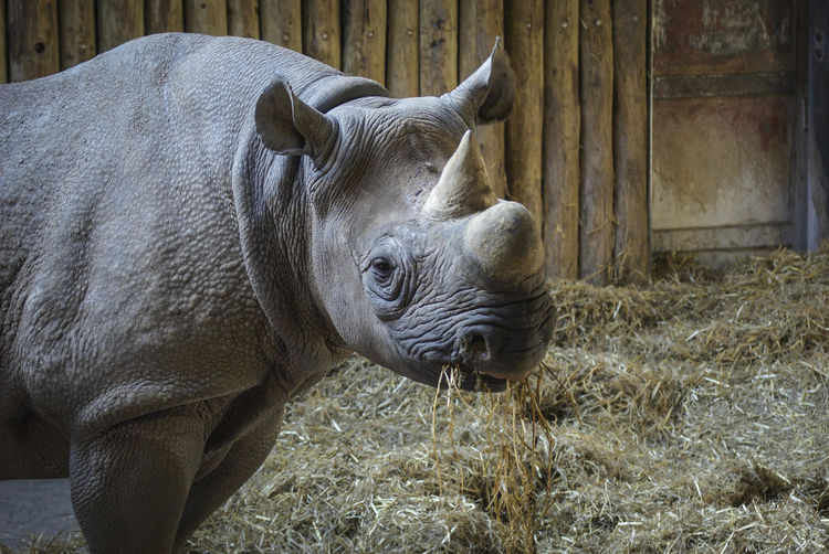 Animal Themes Animal Wildlife Animals Animals In The Wild Close-up Conservation Day Endangered Species Mammal Nature No People One Animal Outdoors Rhino Rhinoceros Zoo