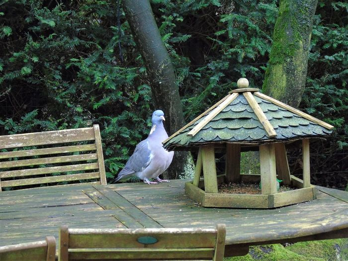 Dove at the birdfeeder in Belgium Belgique Belgium Winter Animal Themes Animal Wildlife Animals In The Wild Beauty In Nature Belgie Belgien Bird Birdfeeder Birdfeeding Day Green Color Growth Nature No People One Animal Outdoors Perching Tree Wood - Material