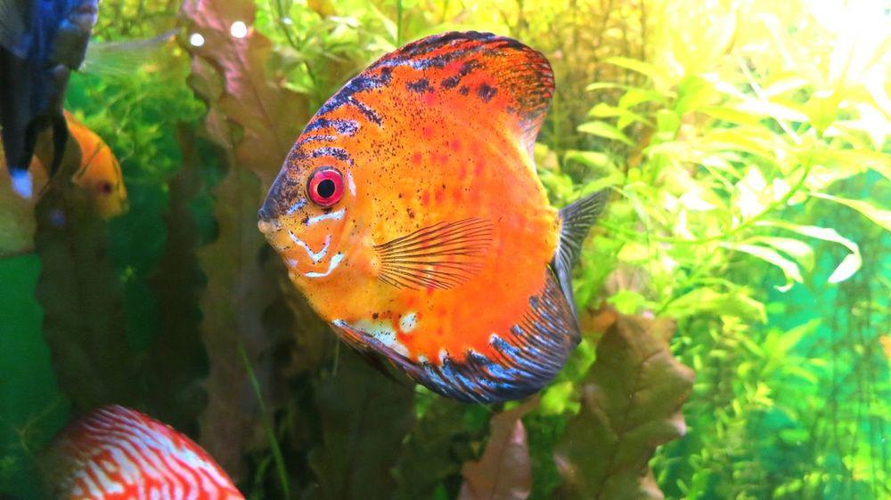 Aquarium fish   Аквариумная рыбка Aquarium Life Aquarium Fish Fish Aquarium Sealife Under Water Under Water Life Bright рыбка аквариум аквариумная рыбка подводный мир морской мир Oceanarium Sankt-Petersburg океанарий океанариум Санкт-Петербург