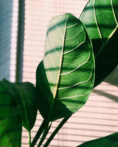 Plants And Flowers Houseplants Plants 🌱 Fig Figtree Figleave Leaf Close-up Plant Green Color Palm Leaf Leaf Vein Shutter Growing Closed Leaves Young Plant Palm Tree Plant Life Greenhouse