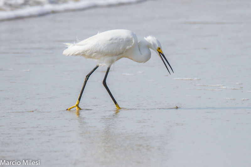 #Brazil #Food #garça #harmony #ocean #sand #sea Aneyeonfood Animal Themes Animal Wildlife Animals In The Wild Bird Day Egret Nature No People One Animal Water