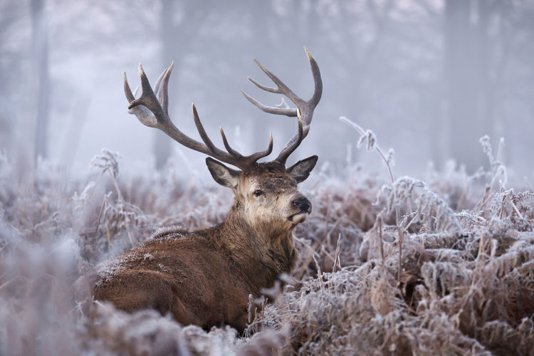 Red deer sitting by plants in forest during winter