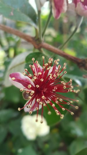 Beautiful divers nature!Flowering Plant Beauty In Nature Freshness Fragility Nature Flower Head Close-up Outdoors ACCAAcca Sellowiana Or Pineapple Guava Plant Vulnerability  Growth Pink Color Petal Inflorescence No People Focus On Foreground Day Selective Focus