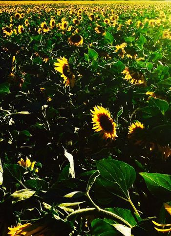 Sunflower fields glorious golden moments Flowers Galore, Amazing Display.