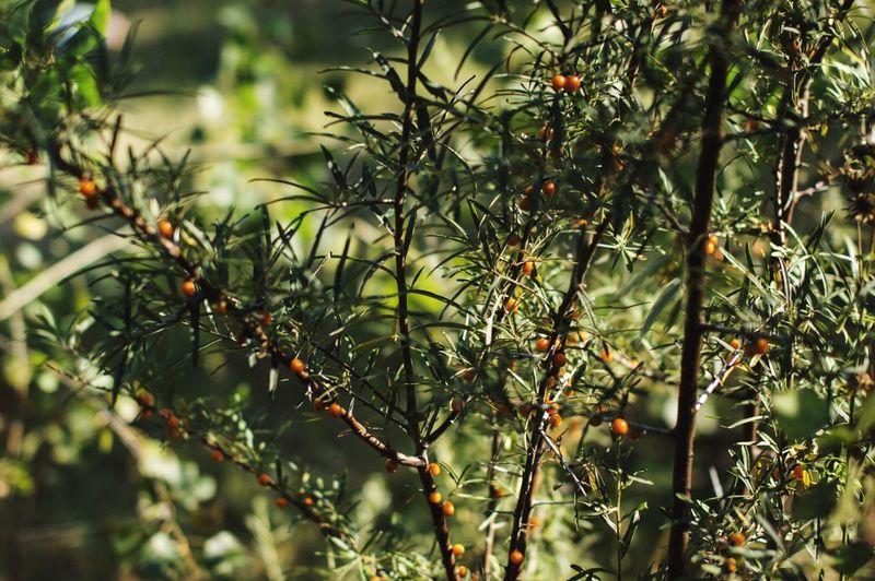 Berries growing on rowan tree