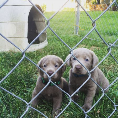 Puppies Puppy Labrador Sliver Labrador Labs Labrador Retriever Dogslife Dogs Of EyeEm Dogs Freshness Cheese! Low Angle