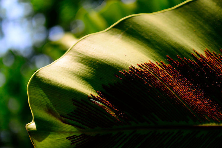 Cropped Image Of Banana Leaf With Insect Colony
