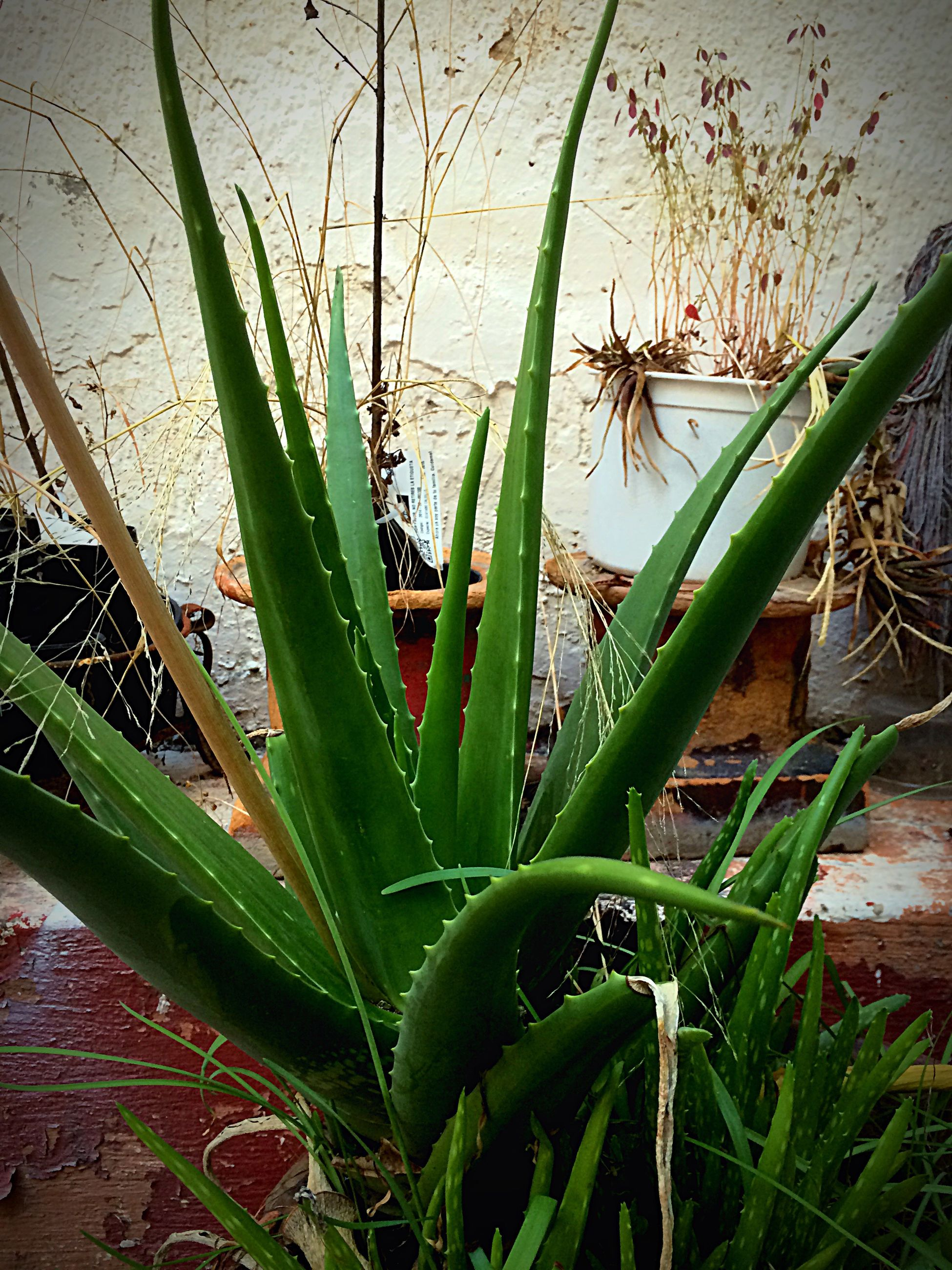 plant, growth, aloe, succulent plant, nature, no people, outdoors, cactus, close-up, day