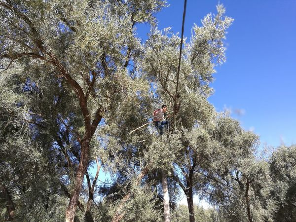 olive harvesting by typing in morocco Beating  Close-up Culture Day Freshness Growth Harvest Harvesting Low Angle View Man Nature Olive Tree Outdoors Plantation Sky Tree