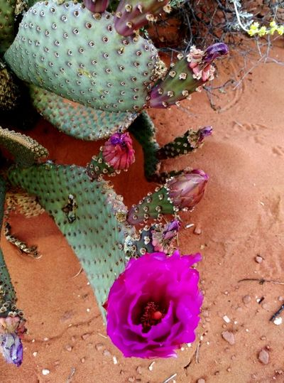 Grow in a desert Pink Flower Beauty In Nature Desertplants Desert Flora Desert Beauty Lifeinadesert Sand Close-up Prickly Pear Cactus Thorn Spiked Needle - Plant Part Sharp Cactus Blooming