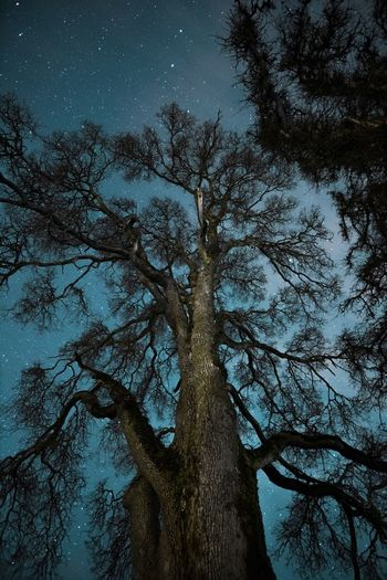 Night sky Tree Trunk Night Nature Pinaceae Pine Tree Scenics WoodLand Landscape Beauty In Nature Astronomy Space Sky Tranquility Low Angle View Bare Tree Outdoors Natural Parkland